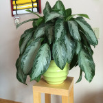 Chinese Evergreen, Silver Bay